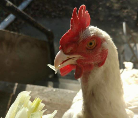 Fussy the Chicken loves treats