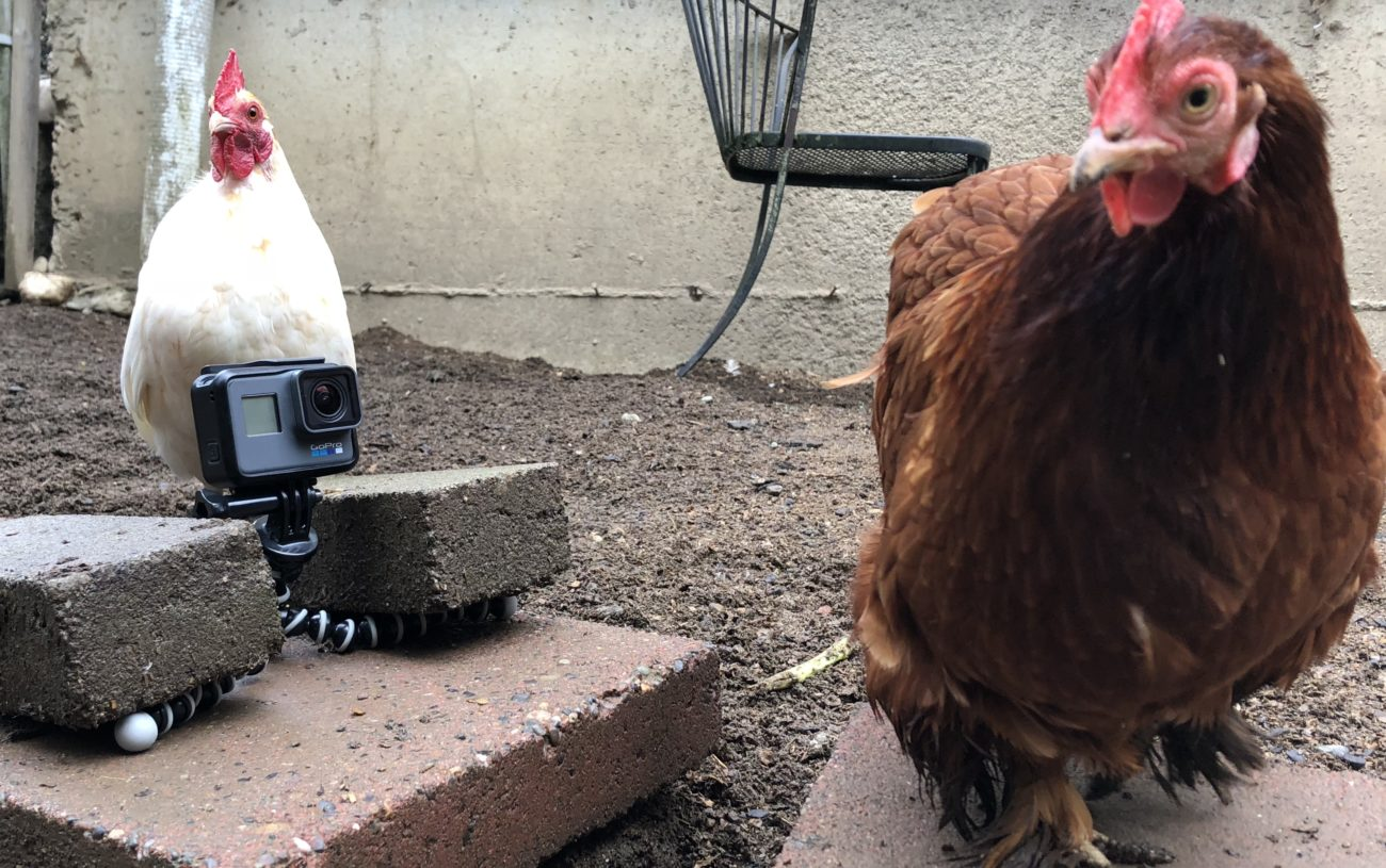 Caring for Older Chickens in Winter