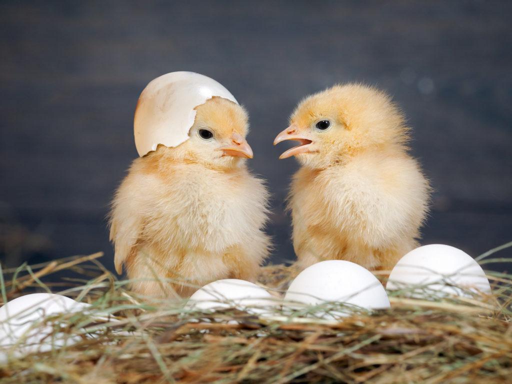 цыплята фото по дням ногда, орошую компанию