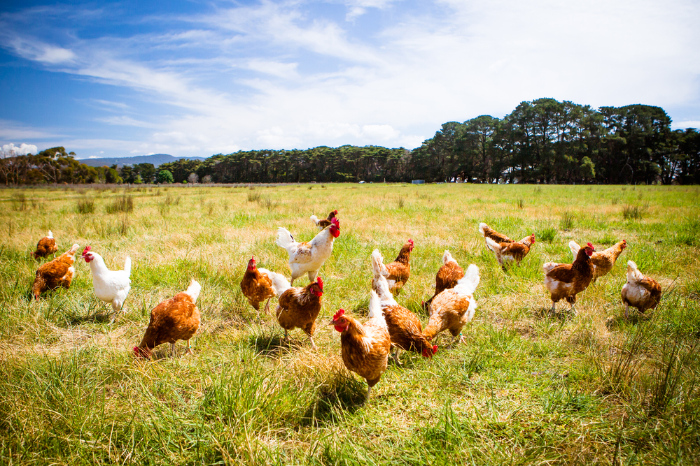How to Rescue Backyard Chickens (and other things)