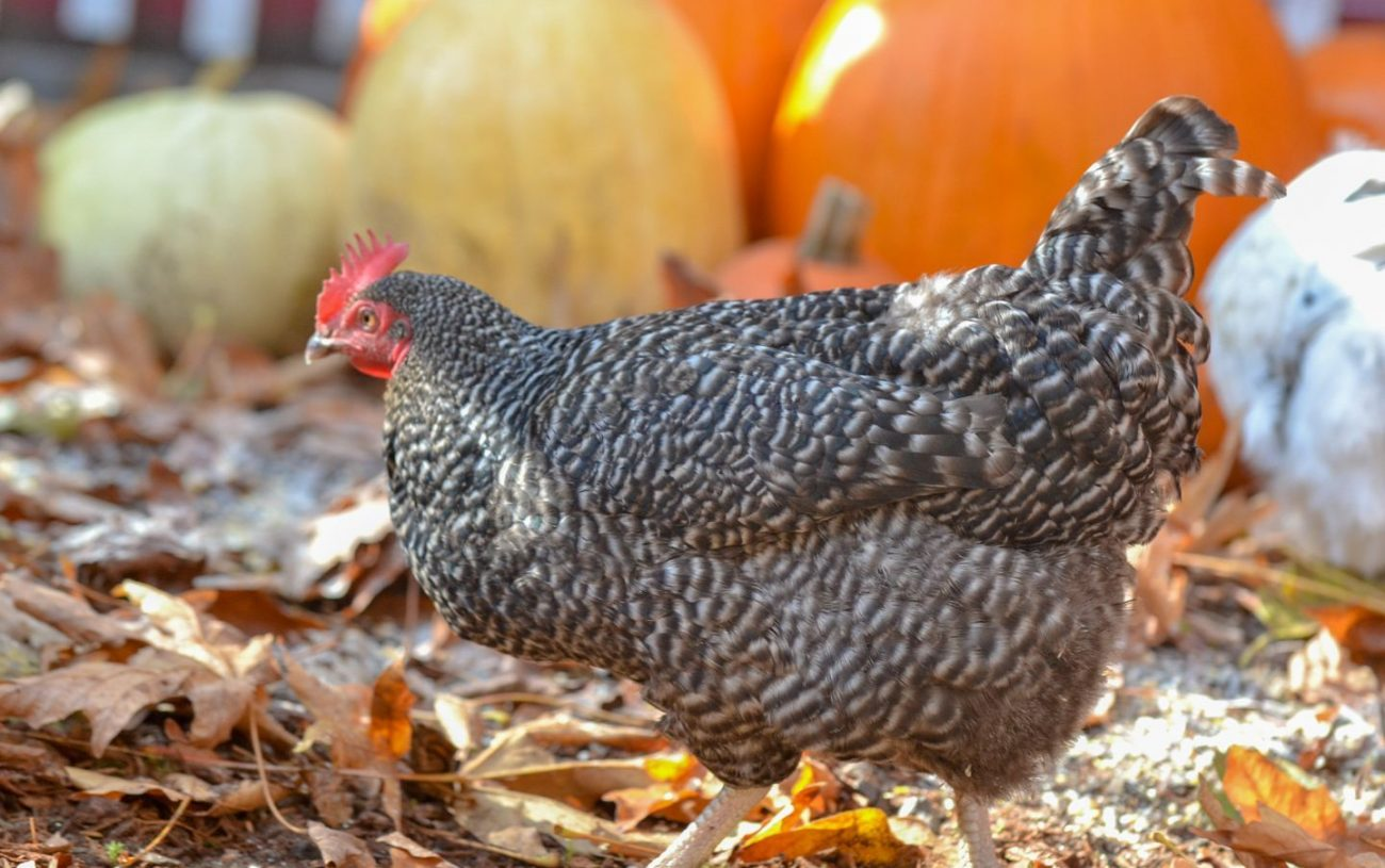 Preparing Your Chickens for Fall