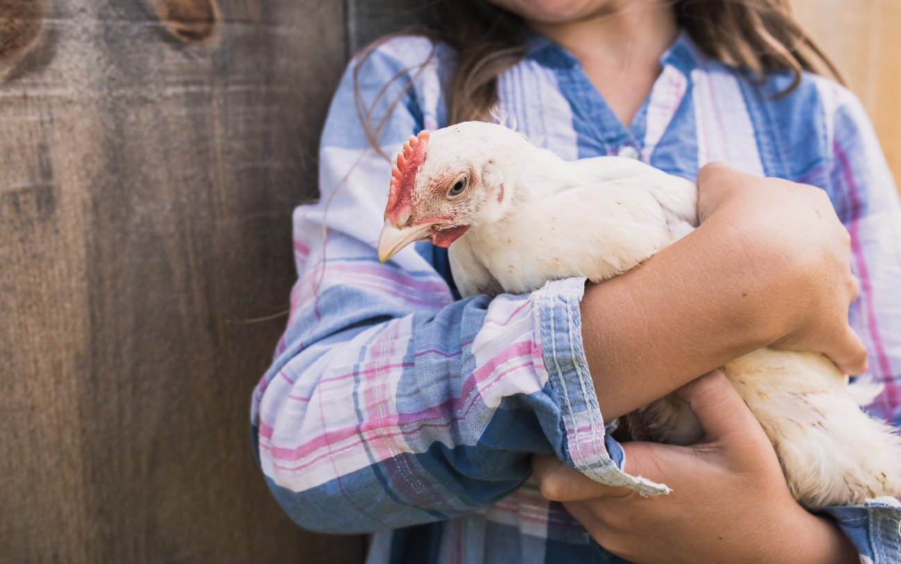 If Your Chicken is Wounded and You Don't Know What to Do, READ THIS.